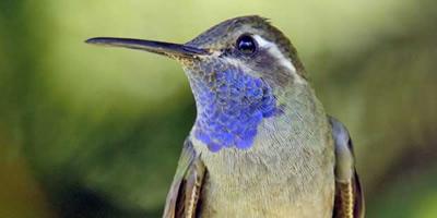 Blue Throated Hummingbird