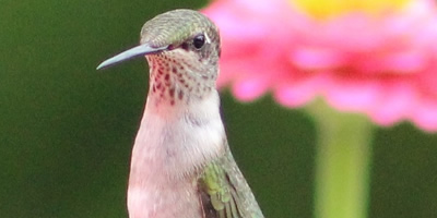 Hummingbird species, 2019 hummingbird migration, sighting reports