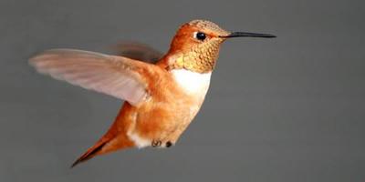 2018-rufous-hummingbird.jpg