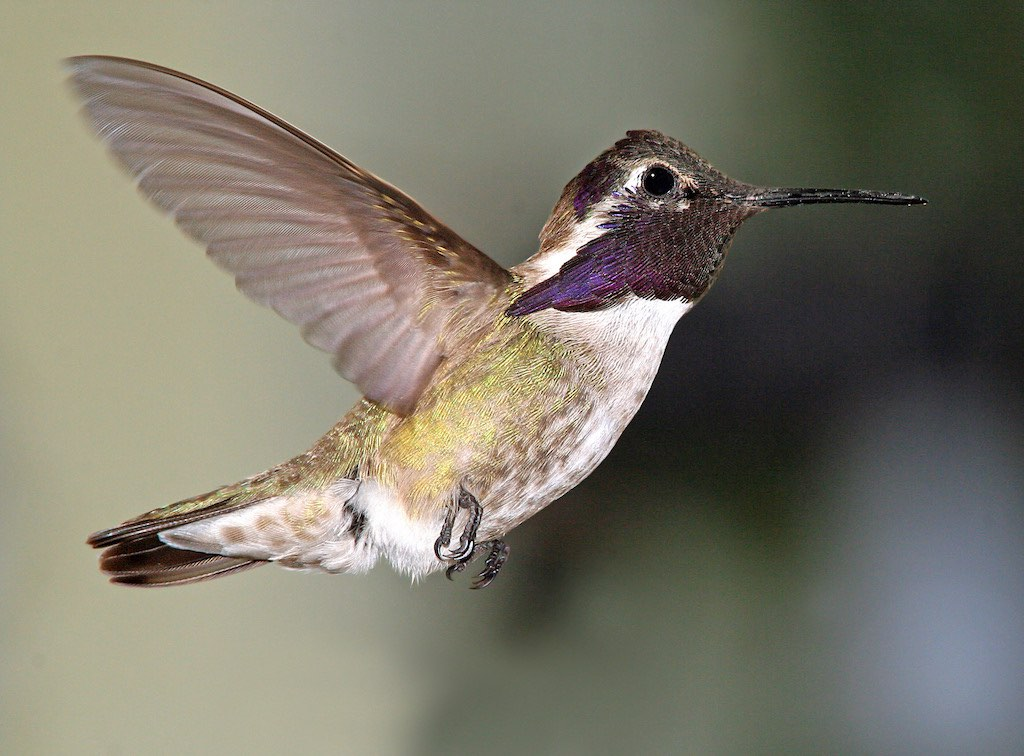 Hummingbird species, with common names, sizes, scientific names and
