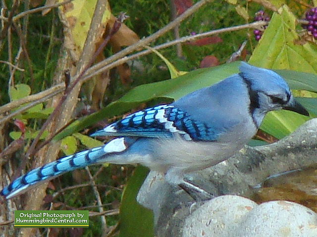 A Blue Jay stops for a drink at the bird bath