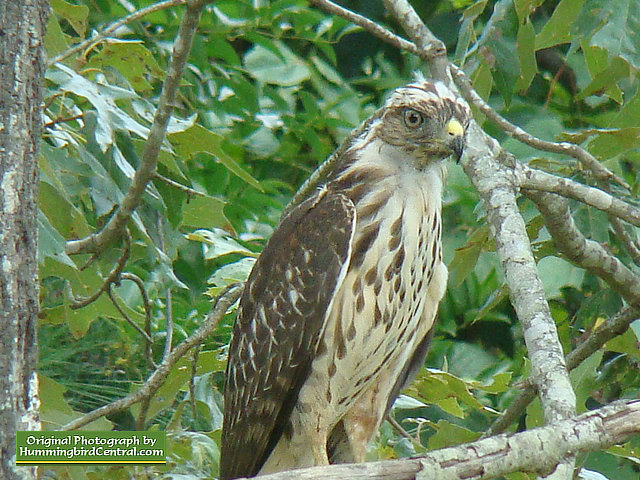 The Hawk watches carefully over the backyard aviary