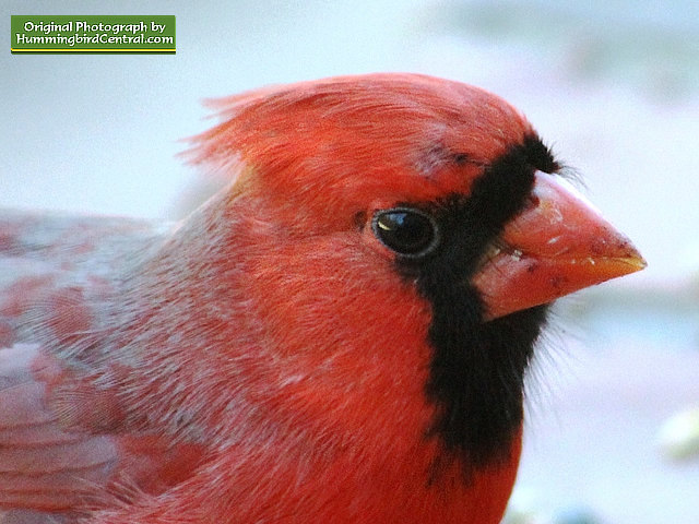 Up close and personal with a beautiful male Northern Cardinal