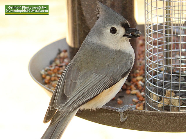 A beautiful Titmouse ready to dine on a black sunflower seed