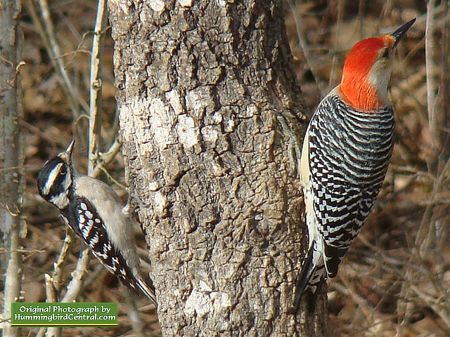 Here a Downy Woodpecker (left) and a Red-Breasted Woodpecker (right) share a spot on a tree trunk