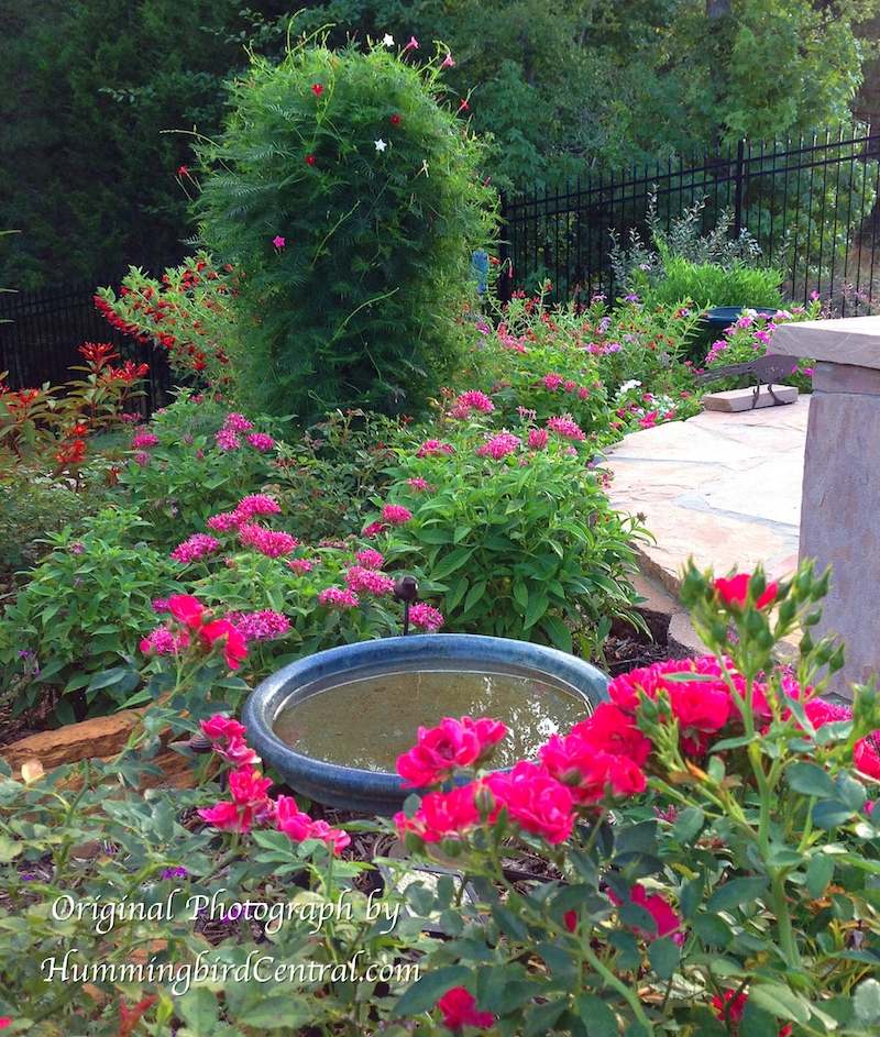 The Hummingbird Central garden, providing valuable food, water and shelter for hummingbirds