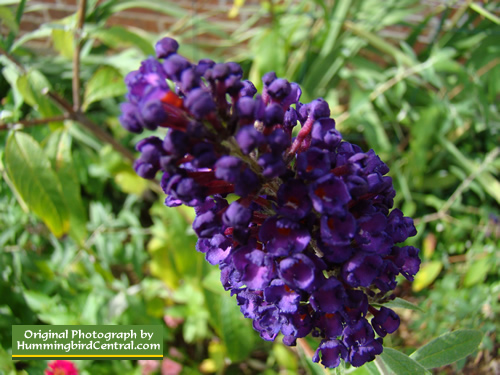 Purple Buttefly Bush