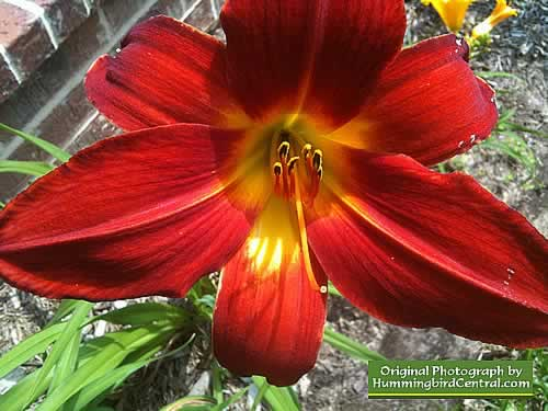 Deep Orange Day Lily