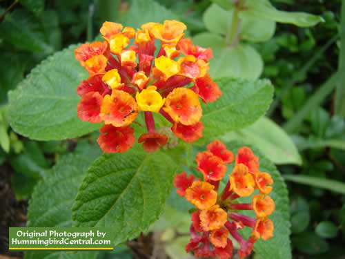 Orange and Gold Lantana
