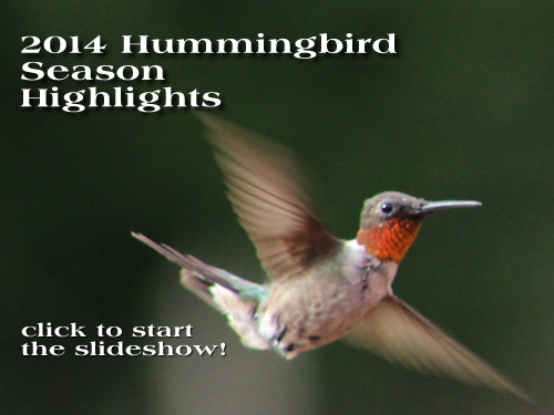 Hummingbirds Migration 2014 2014 Hummingbird Season Photo