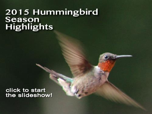 Hummingbirds Migration 2015 2015 Hummingbird Season Photo