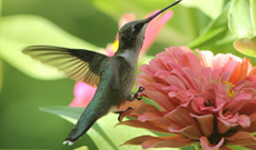 How to attract hummingbirds to your home landscape