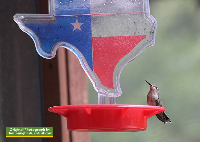 Ruby-Throated Hummingbird on a State of Texas shaped feeder