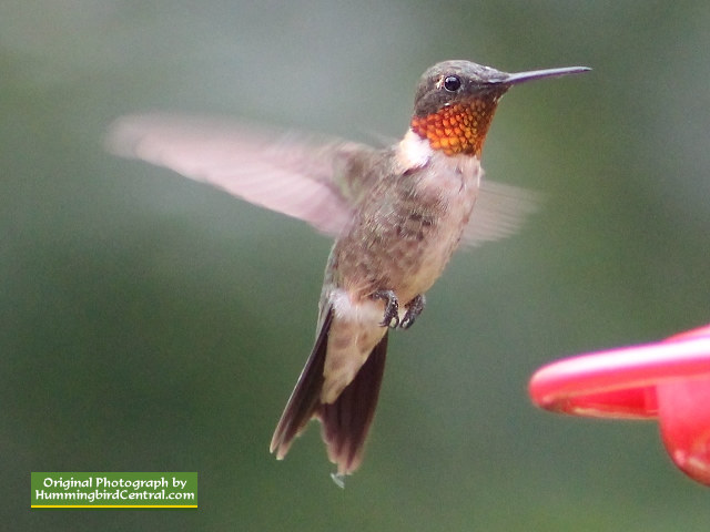 Ruby-Throated Hummingbird hovering in mid-air
