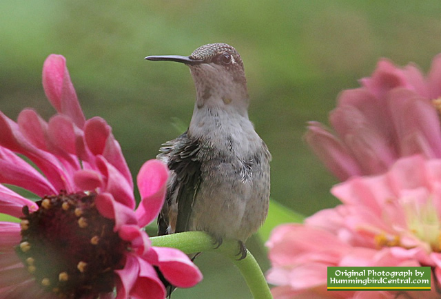 Ruby-Throated Hummingbird protecting its food source in California Giant Zinnias!