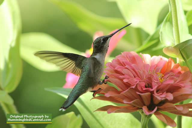 Black-Chinned Hummingbird in Southern California
