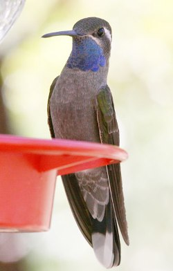 Blue-Throated Hummingbird