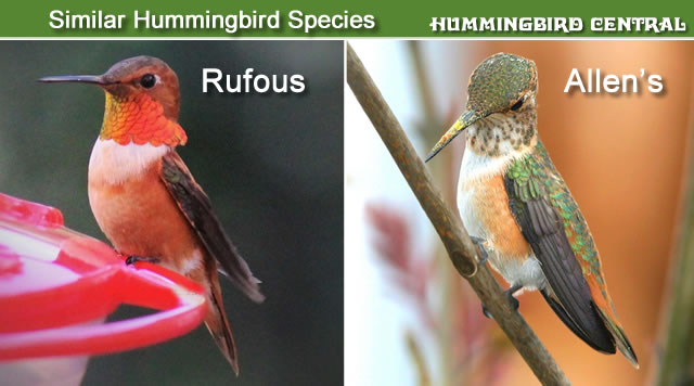 Comparison of the Rufous and Allen's hummingbirds